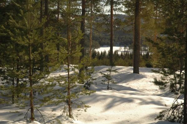 Gjennom glissen furuskog mellom Åsvanna og Sandungen